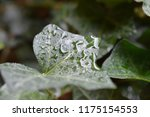 macro photo of an green english ... | Shutterstock . vector #1175154553