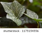macro photo of an green english ... | Shutterstock . vector #1175154556