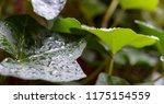 macro photo of an green english ... | Shutterstock . vector #1175154559