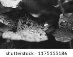 black and white macro photo of... | Shutterstock . vector #1175155186