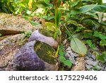 Cultivation Of Coconut In The...