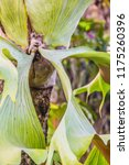 Green Leaves Of Staghorn Fern ...