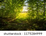 beech forest. beech is a... | Shutterstock . vector #1175284999