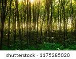 beech forest. beech is a... | Shutterstock . vector #1175285020