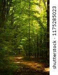 beech forest. beech is a... | Shutterstock . vector #1175285023