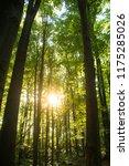 beech forest. beech is a... | Shutterstock . vector #1175285026