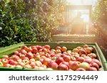 seasonal apple fruit harvest....   Shutterstock . vector #1175294449