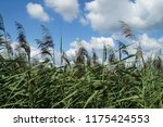 close up common reed  common...   Shutterstock . vector #1175424553