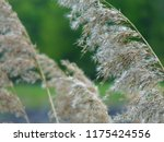 close up common reed  common...   Shutterstock . vector #1175424556