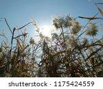 close up common reed  common...   Shutterstock . vector #1175424559