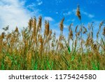 close up common reed  common...   Shutterstock . vector #1175424580