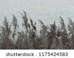 close up common reed  common...   Shutterstock . vector #1175424583
