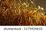 close up common reed  common...   Shutterstock . vector #1175424610