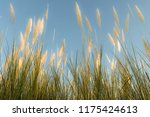 close up common reed  common...   Shutterstock . vector #1175424613