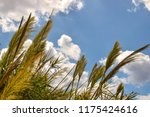close up common reed  common...   Shutterstock . vector #1175424616