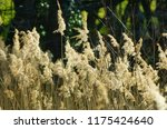 close up common reed  common...   Shutterstock . vector #1175424640