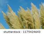 close up common reed  common...   Shutterstock . vector #1175424643