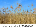 close up common reed  common...   Shutterstock . vector #1175424646