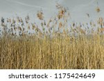 close up common reed  common...   Shutterstock . vector #1175424649
