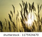 close up common reed  common...   Shutterstock . vector #1175424670