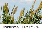 close up common reed  common...   Shutterstock . vector #1175424676