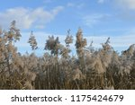 close up common reed  common...   Shutterstock . vector #1175424679