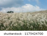 close up common reed  common...   Shutterstock . vector #1175424700