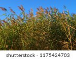 close up common reed  common...   Shutterstock . vector #1175424703