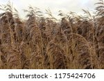 close up common reed  common...   Shutterstock . vector #1175424706