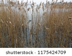 close up common reed  common...   Shutterstock . vector #1175424709