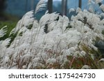 close up common reed  common...   Shutterstock . vector #1175424730