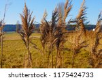 close up common reed  common...   Shutterstock . vector #1175424733