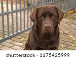 portrait of brown dog labrador... | Shutterstock . vector #1175425999