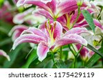 pink and white lilly flowers in ...