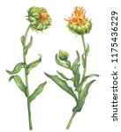 Orange Calendula Officinalis ...