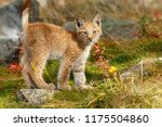 Stock photo lynx cub kitten 1175504860