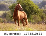 Stock photo welsh pony running and standing in high grass long mane brown horse galloping brown horse 1175510683