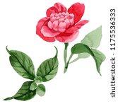watercolor pink camellia... | Shutterstock . vector #1175536333