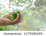 bitter gourd fruits in hand... | Shutterstock . vector #1175550199