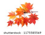 autumn maple leaves | Shutterstock . vector #1175585569