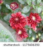 deep red mum   chrysanthemum... | Shutterstock . vector #1175606350