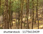 forest with many pines | Shutterstock . vector #1175613439