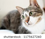cat stare at something | Shutterstock . vector #1175627260