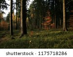 young beech illuminated by the... | Shutterstock . vector #1175718286