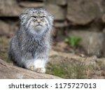 pallas' cat  otocolobus manul ... | Shutterstock . vector #1175727013