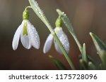 snowdrop flowers  galanthus... | Shutterstock . vector #1175728096