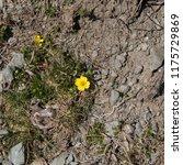 tormentil  potentilla erecta ... | Shutterstock . vector #1175729869