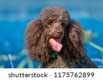 brown royal poodle at the lake... | Shutterstock . vector #1175762899