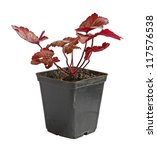 """A young plant Heuchera """"Georgia Peach"""" in a flowerpot on a white background is isolated - stock photo"""