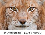 lynx  detail face portrait with ... | Shutterstock . vector #1175775910